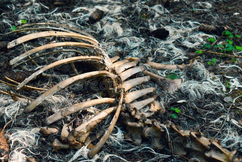 Κρανίο και κόκκαλα του νεκρού ζώου στοκ φωτογραφίες