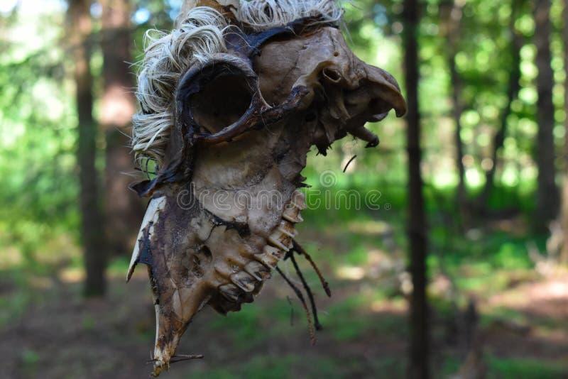 Κρανίο και κόκκαλα του νεκρού ζώου στοκ εικόνες