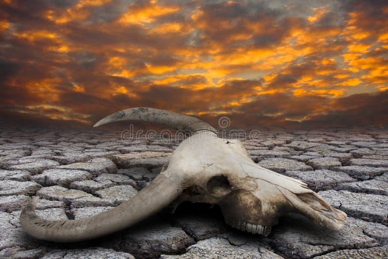 Κρανίο Buffalo στοκ φωτογραφία με δικαίωμα ελεύθερης χρήσης