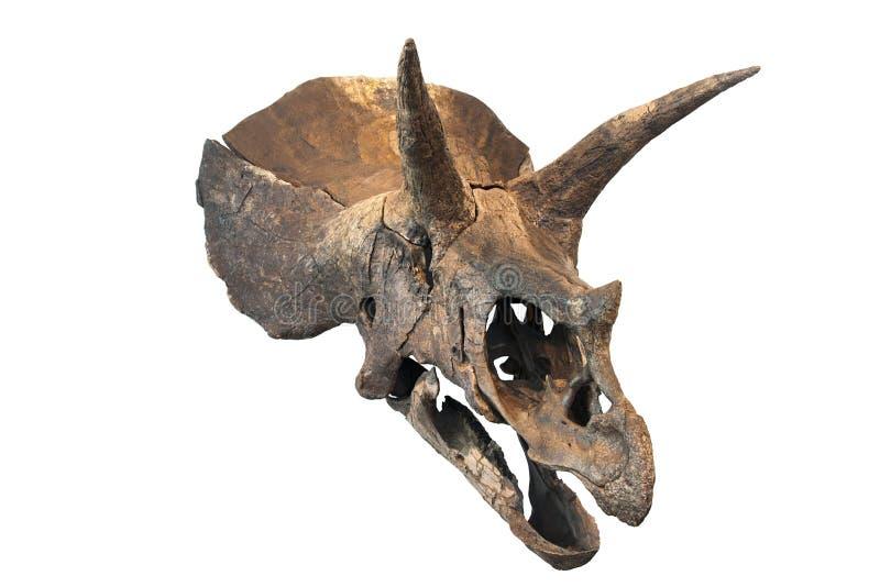 Κρανίο Triceratops στοκ φωτογραφία με δικαίωμα ελεύθερης χρήσης