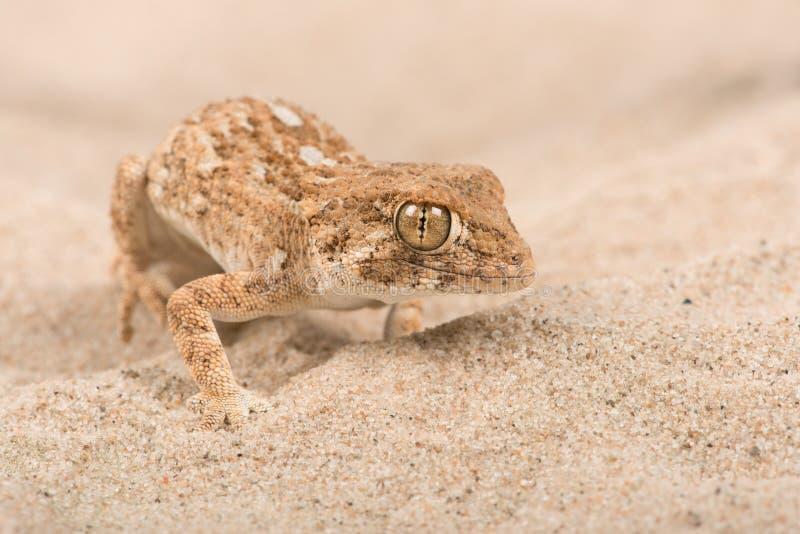 Κρανοφόρα chazaliae Gecko Tarentola στοκ φωτογραφία με δικαίωμα ελεύθερης χρήσης