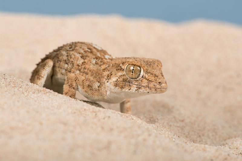 Κρανοφόρα chazaliae Gecko Tarentola στοκ φωτογραφία