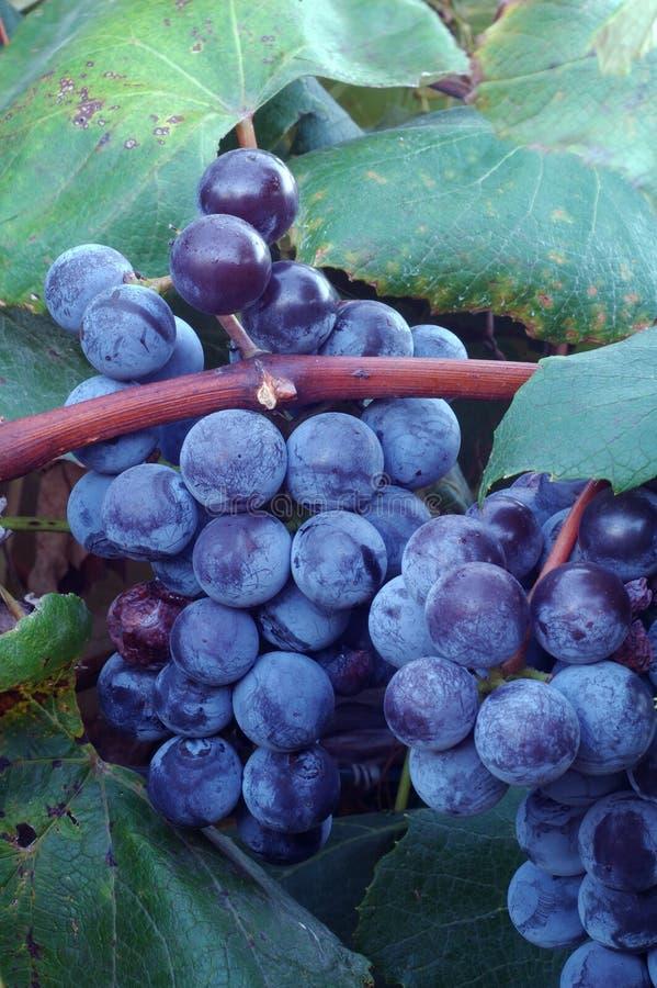 κρασί σταφυλιών συμφωνίας στοκ εικόνα