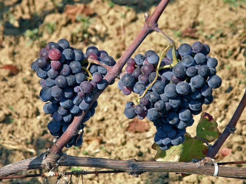 κρασί συγχώνευσης σταφ&upsil στοκ εικόνες