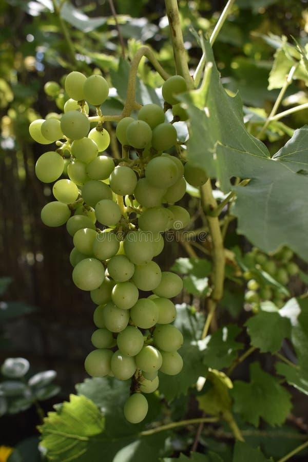 Κρασιά λευκά σταφύλια σε δέντρο με κλαδιά και πράσινο φόντο στοκ φωτογραφία με δικαίωμα ελεύθερης χρήσης