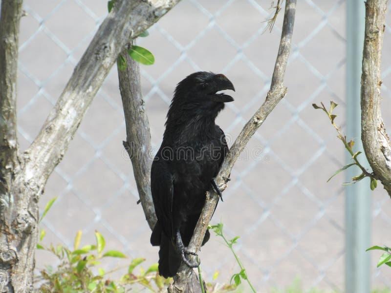 Κραυγάζοντας μαύρο πουλί με το ανοικτό ράμφος που προσκολλάται σε ένα δέντρο brancn στοκ φωτογραφία με δικαίωμα ελεύθερης χρήσης