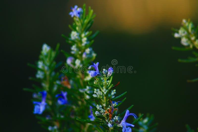 κραυγές στο λουλούδι του δεντρολιβάνου στο μεσογειακό λεκέ της ιταλικής χερσονήσου στοκ φωτογραφία με δικαίωμα ελεύθερης χρήσης