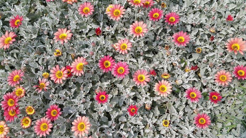 Κρεβάτι λουλουδιών της Daisy στοκ φωτογραφίες