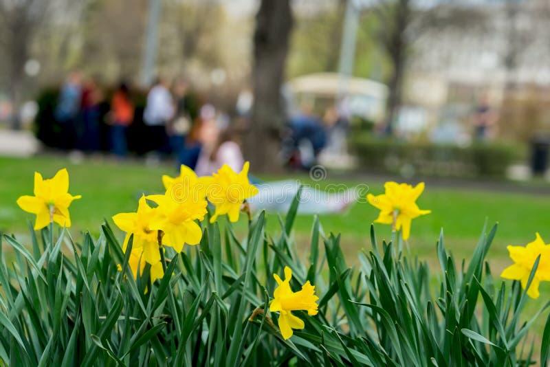 Κρεβάτι λουλουδιών με τα λουλούδια του κίτρινου daffodil, τα λουλούδια Narcissuses που ανθίζουν την άνοιξη και τις θολωμένες Unre στοκ φωτογραφία με δικαίωμα ελεύθερης χρήσης