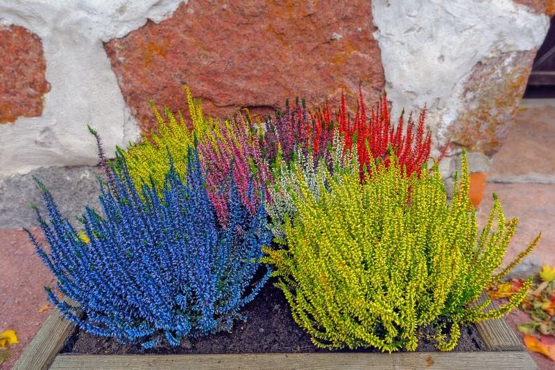 Κρεβάτι λουλουδιών με τη ζωηρόχρωμη ερείκη στοκ φωτογραφία
