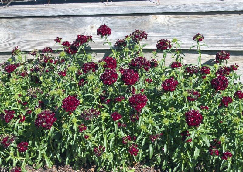Κρεβάτι του γλυκού μαύρου κερασιού Dianthus στοκ εικόνα με δικαίωμα ελεύθερης χρήσης