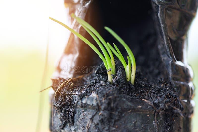 Κρεμμύδια που αυξάνονται - πράσινος κρεμμύδι άνοιξη σποροφύτων ή οφθαλμός της ανάπτυξης κρεμμυδιών για το φυτώριο στο χώμα στο πλ στοκ φωτογραφία με δικαίωμα ελεύθερης χρήσης