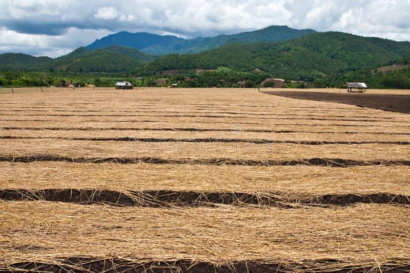 κρεμμύδι Ταϊλάνδη του αγρ&omi στοκ εικόνα