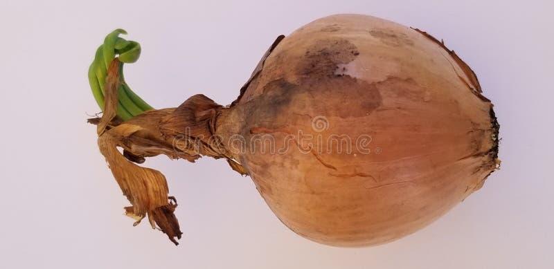 Κρεμμύδι 2 στοκ φωτογραφίες