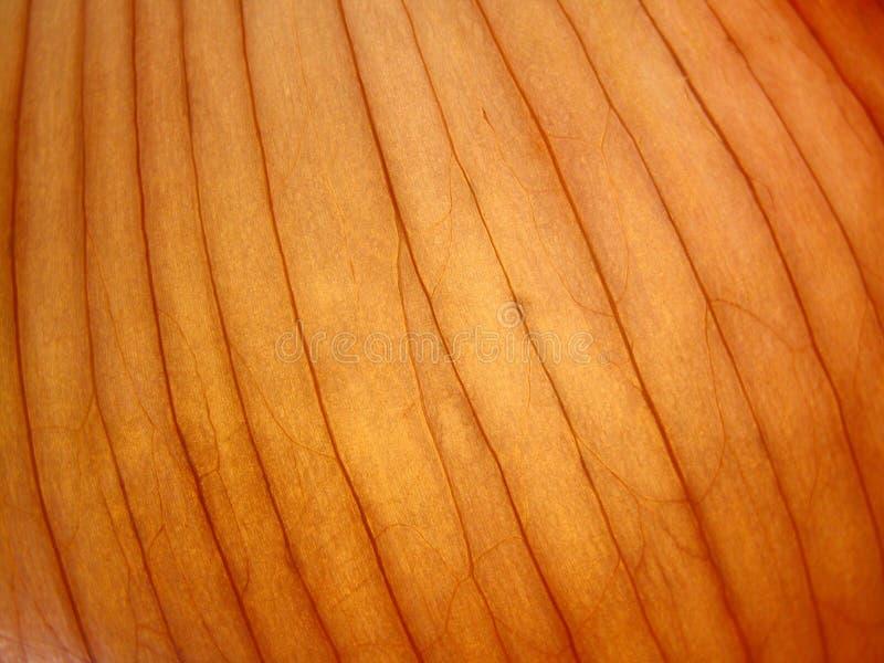 κρεμμύδι στοκ εικόνα με δικαίωμα ελεύθερης χρήσης