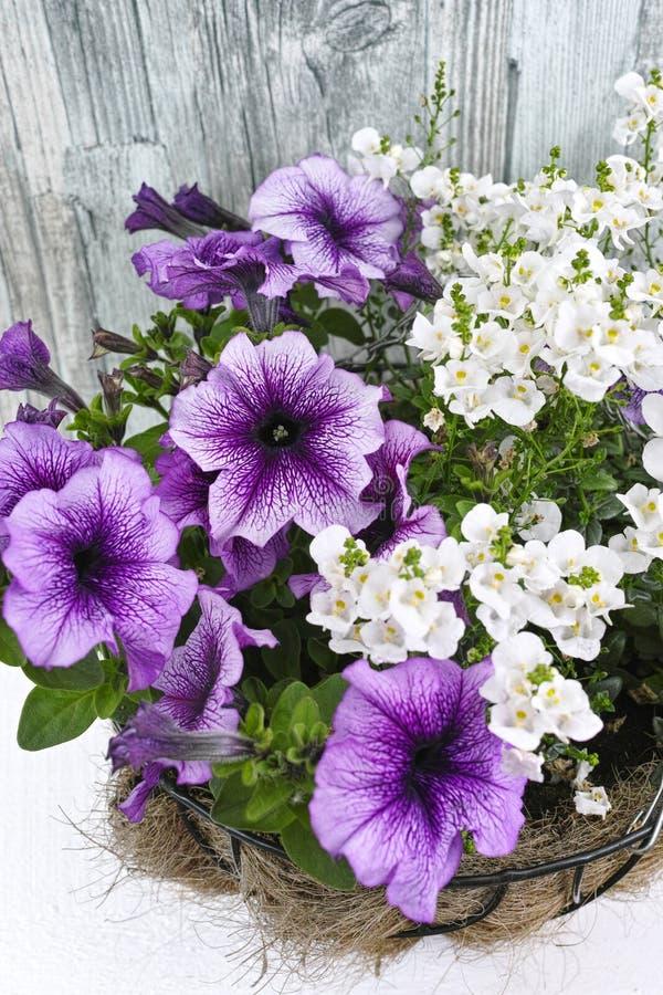Κρεμώντας καλάθι Coconat με την πορφυρή πετούνια και τα άσπρα λουλούδια στοκ εικόνες