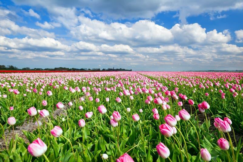 Κρεμώδεις ρόδινες τουλίπες στον ολλανδικούς τομέα και το μπλε ουρανό στοκ εικόνες