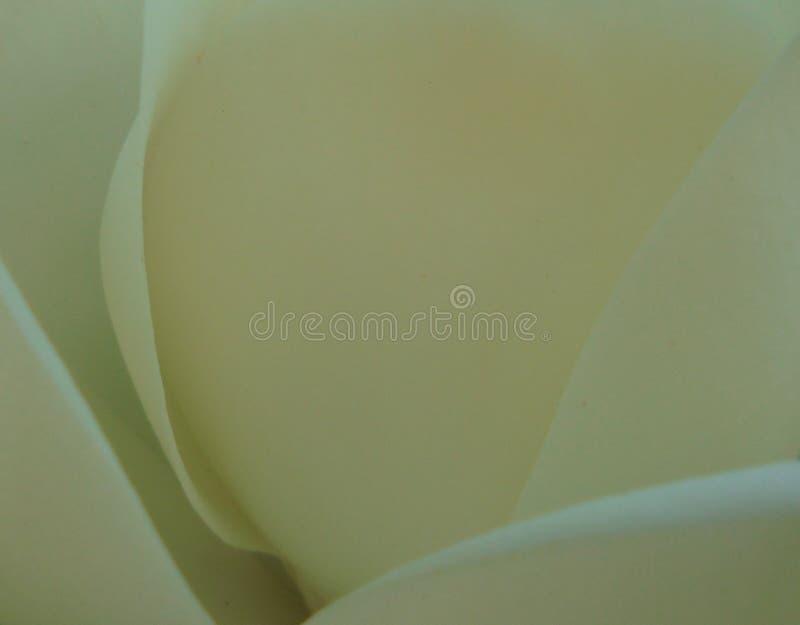 Κρεμώδες λουλούδι Magnolia στοκ φωτογραφία