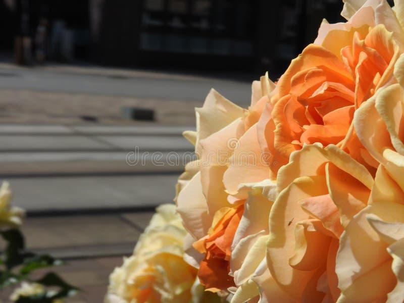 Κρεμώδη πορτοκαλιά λουλούδια στοκ φωτογραφία