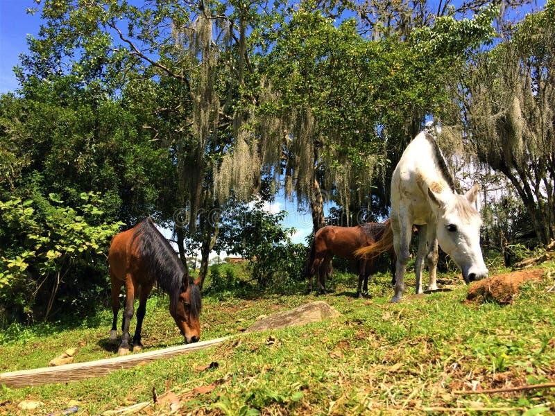 Κρεολικά άλογα που τρώνε τη χλόη στο κοπάδι υπαίθρια στοκ εικόνα