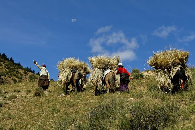 κριθάρι που καλλιεργεί Θιβετιανό στοκ εικόνα