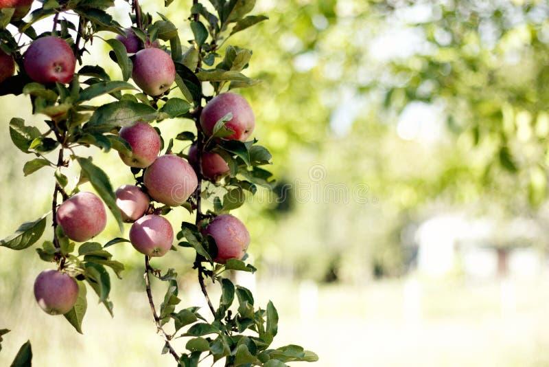 Κριτσανίστε το μήλο στοκ εικόνες με δικαίωμα ελεύθερης χρήσης
