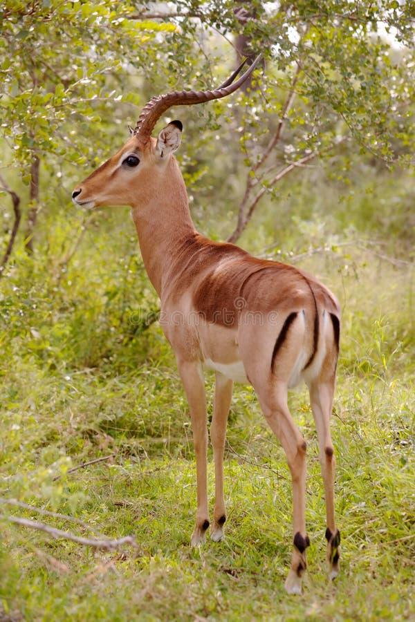 κριός impala στοκ φωτογραφία με δικαίωμα ελεύθερης χρήσης