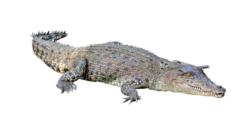 κροκόδειλος που απομ&omicr στοκ φωτογραφία