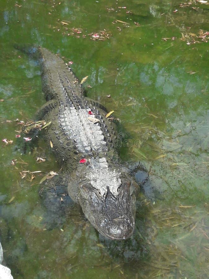 Κροκόδειλος στο ζωολογικό κήπο Κόρντομπα Αργεντινή στοκ εικόνες