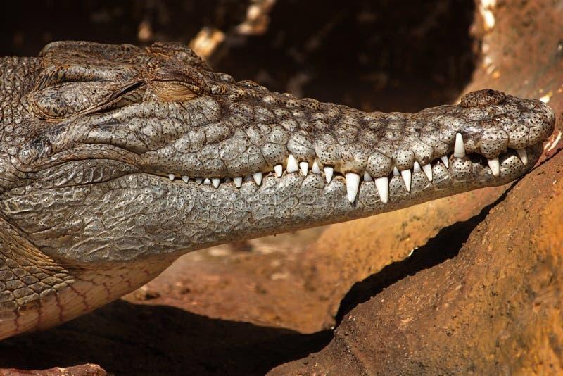 κροκόδειλος estuarine στοκ φωτογραφίες