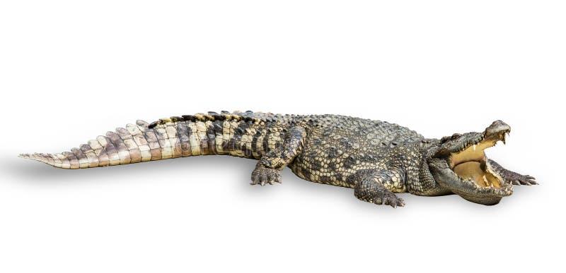 Κροκόδειλος σε ένα άσπρο υπόβαθρο στοκ εικόνα με δικαίωμα ελεύθερης χρήσης