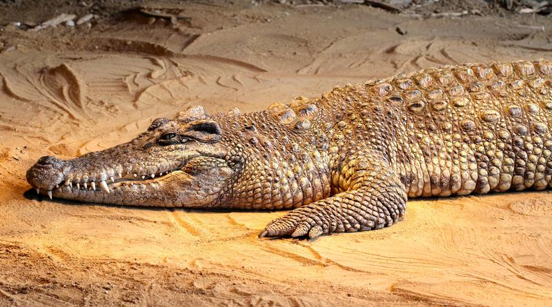 Κροκόδειλος στην άμμο στοκ εικόνες με δικαίωμα ελεύθερης χρήσης