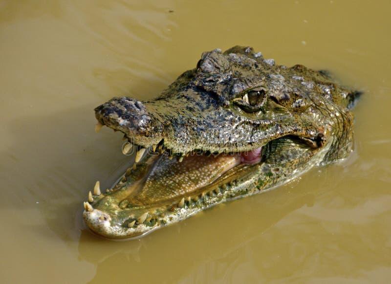 Κροκόδειλος του Αμαζονίου στοκ εικόνες