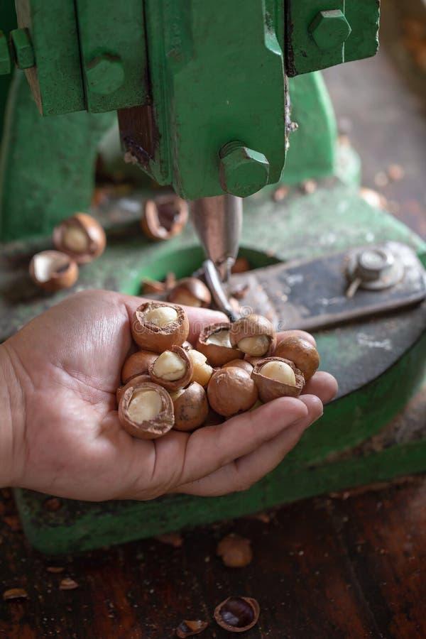 Κροτίδα της Shell για ραγίζοντας macadamia, ανοικτό macadamia καρύδι στοκ εικόνες