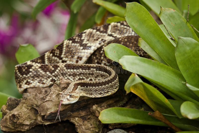 Κροταλίας Neotropical στοκ φωτογραφία με δικαίωμα ελεύθερης χρήσης