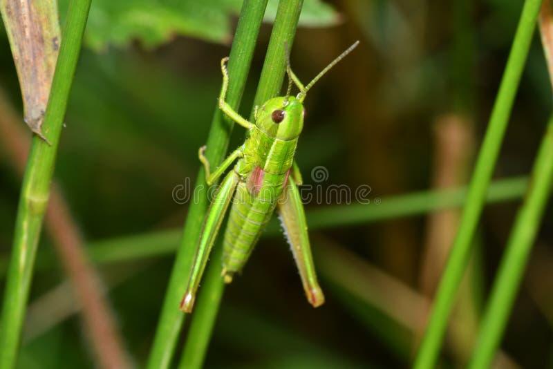 Κρυμμένα grasshoppers έντομα στοκ εικόνες με δικαίωμα ελεύθερης χρήσης