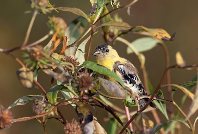 Κρυμμένο Goldfinch που κρύβεται στους ηλίανθους στοκ εικόνες