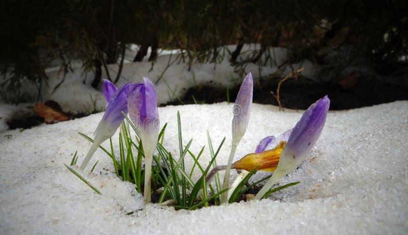 Κρόκοι, νεαρός βλαστός λουλουδιών άνοιξη από το χιόνι στοκ φωτογραφία με δικαίωμα ελεύθερης χρήσης