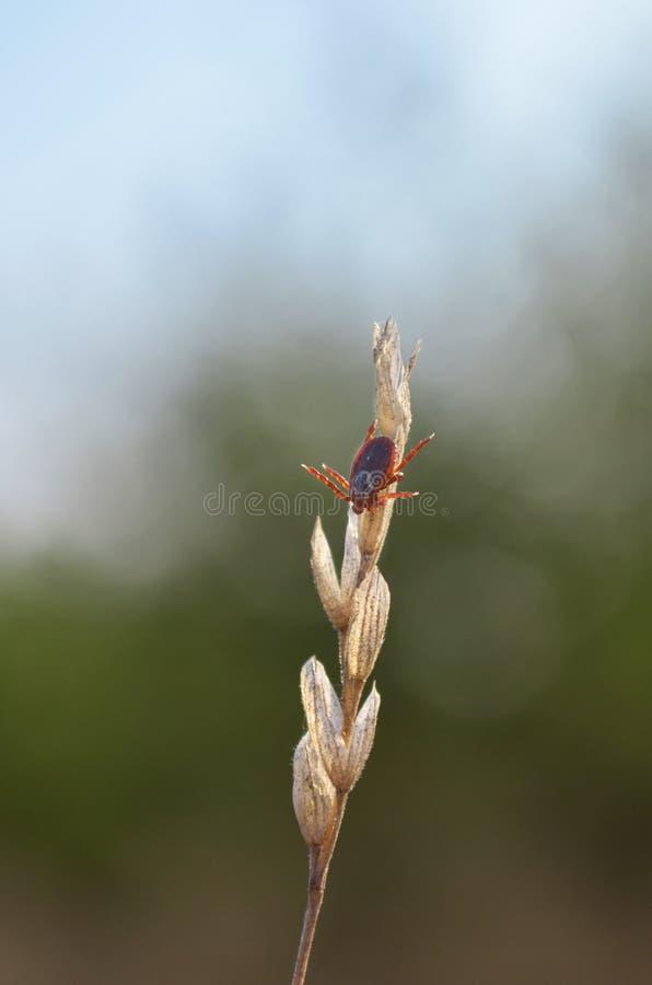 Κρότωνας στην ξηρά λεπίδα της χλόης Dermacentor στοκ εικόνα με δικαίωμα ελεύθερης χρήσης