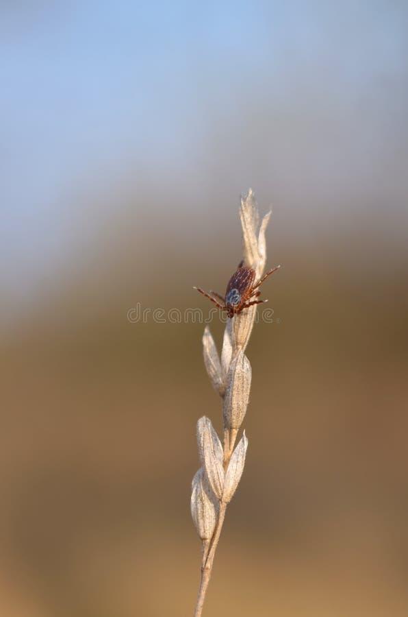 Κρότωνας στην ξηρά λεπίδα της χλόης Dermacentor στοκ εικόνες με δικαίωμα ελεύθερης χρήσης