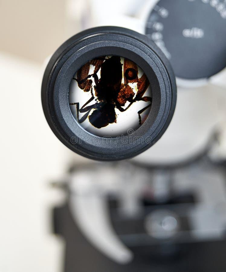 Κρότωνας Ixodes, άποψη από το μικροσκόπιο Εκλεκτική εστίαση στο προσοφθάλμιο στοκ εικόνα με δικαίωμα ελεύθερης χρήσης