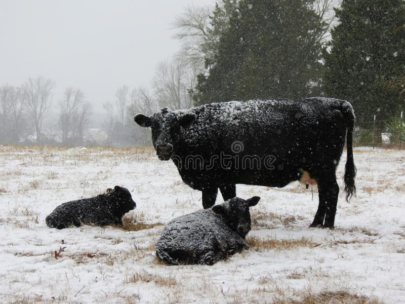 Κρύες μαύρες αγελάδες στοκ φωτογραφίες