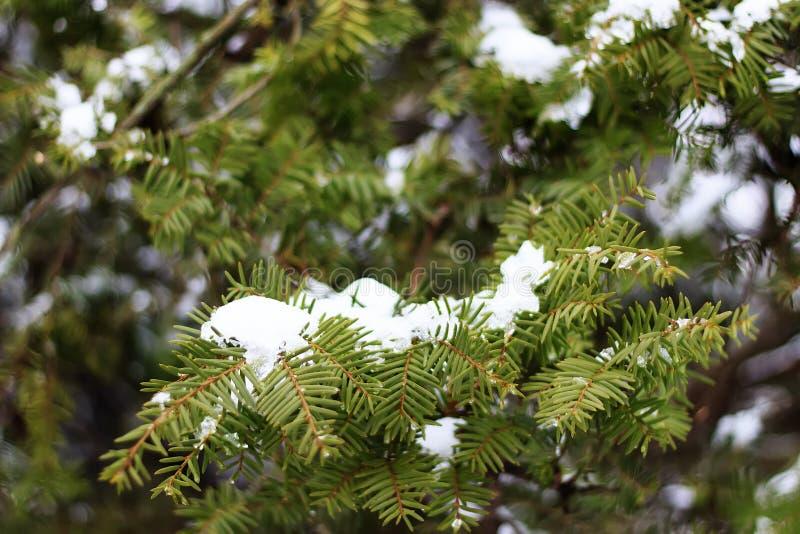 Κρύος καιρός Παγωμένοι κωνοφόροι κλάδοι τον άσπρο χειμώνα Παγωμένο χειμερινό τοπίο στο χιονώδες δάσος στοκ εικόνες