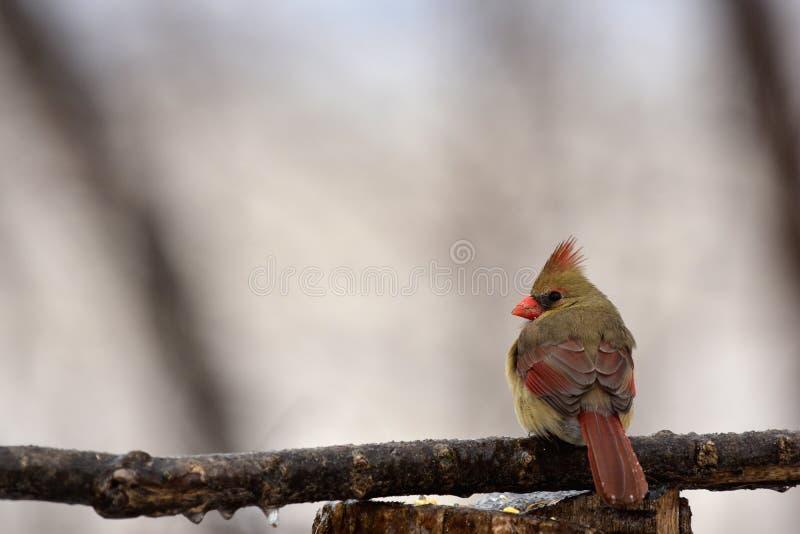 Κρύος καρδινάλιος στοκ φωτογραφία