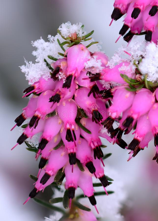 Κρύσταλλα χιονιού στην ερείκη στα λουλούδια στοκ φωτογραφία