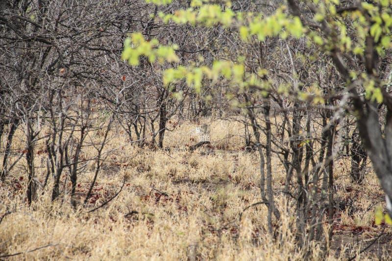 Κρύψιμο λεοπαρδάλεων στο θάμνο, εθνικό πάρκο Kruger, Νότια Αφρική στοκ εικόνες