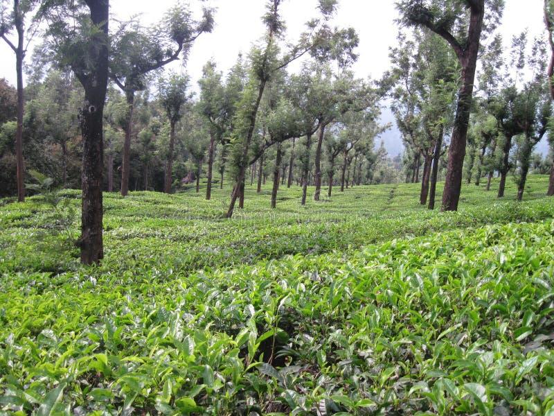 Κτήμα τσαγιού Nilgiri στοκ εικόνα