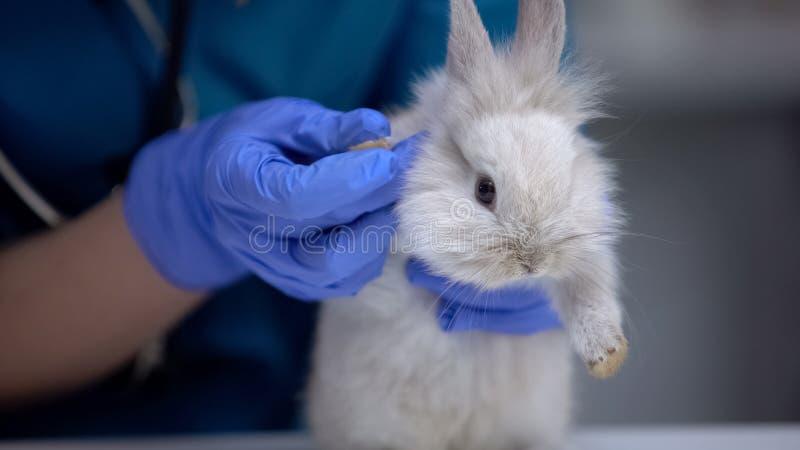 Κτηνίατρος εξετάζει γούνα κουνελιού, ψάχνει έλκη ή έντομα, συμπτώματα ποδοδερματίτιδας στοκ φωτογραφία
