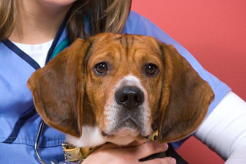 κτηνίατρος λαγωνικών στοκ εικόνες