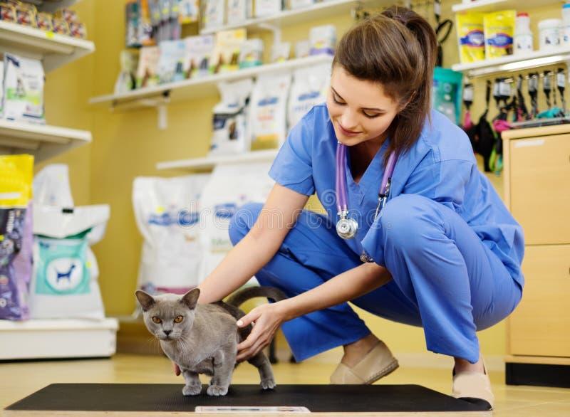 Κτηνίατρος που βάζει τη γάτα στην κλίμακα βάρους στην κτηνιατρική κλινική στοκ εικόνες